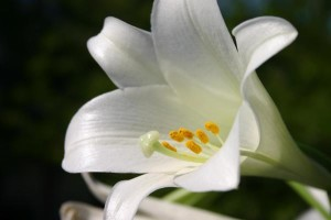easter_lily-600x400