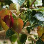 bodhi-tree-alina-sofia