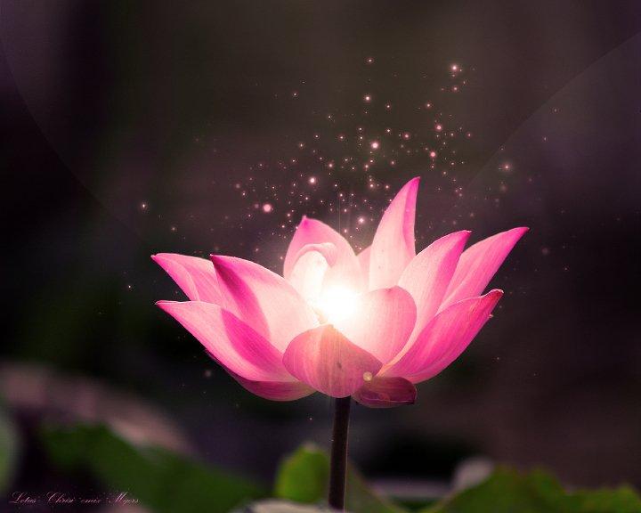 jewel-lotus-2