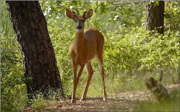 White-Tailed_Deer_in_Forest_600