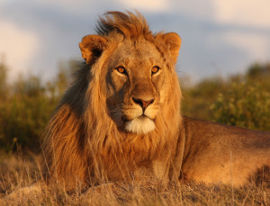 lions-4