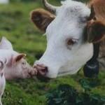 medium_cows_pigs