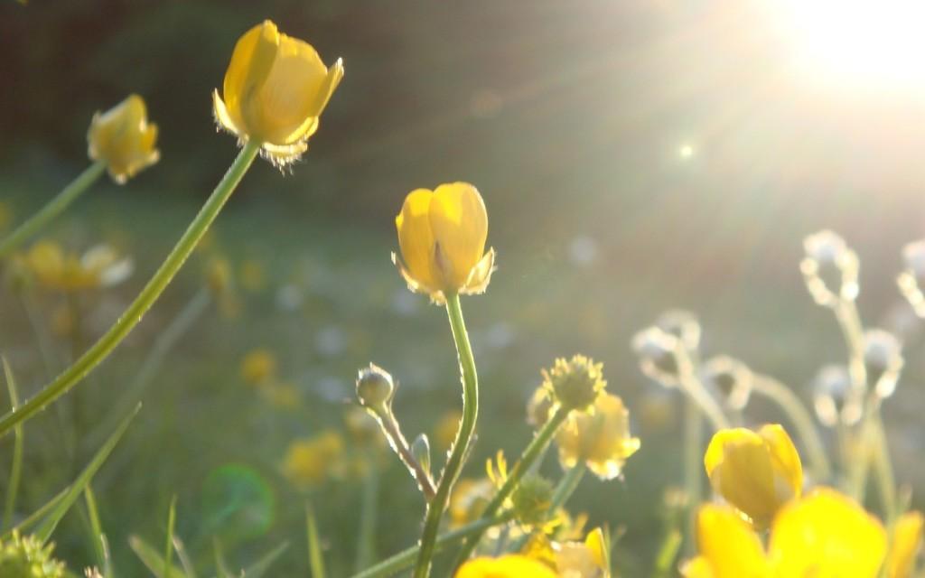 sunlight in yellow flowers