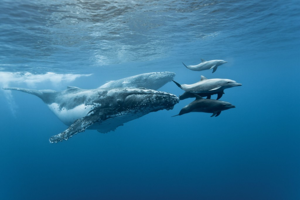 Megaptera novaeangliae and Tursiops aduncus. Reunion island. Free diving. A group of dolphins play and escort two whales. Dolphins and whales use to play together.