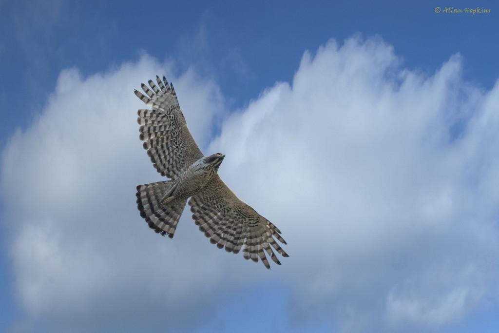 Mountain-Hawk-eagle